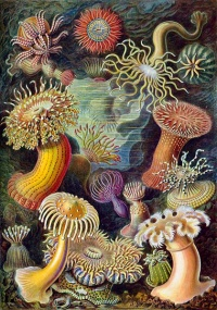Artforms of Nature (1904) by Ernst Haeckel