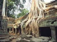 "Roots of a Tetrameles nudiflora tree  at an abandoned temple in Cambodia. Maurice Glaize observed, ""On every side, in fantastic over-scale, the trunks of the silk-cotton trees soar skywards under a shadowy green canopy, their long spreading skirts trailing the ground and their endless roots coiling more like reptiles than plants."""