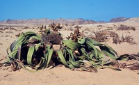 Welwitschia has been called the ugliest plant in the world